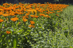Field of pot marigold. GVP0328 Royalty Free Stock Images