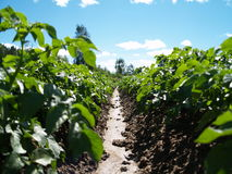 field potatisen Fotografering för Bildbyråer