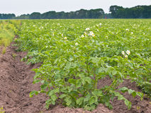 Field of potato Royalty Free Stock Photo