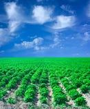 Field of potato with blue sky Stock Photos