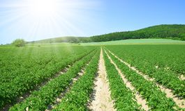Field of potato crops in a row and sunny sky. Royalty Free Stock Image