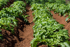 Field of potato haulm in Tenerife rural place, Canarian domestic products Stock Photos