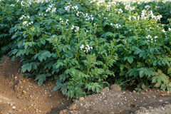 Field of potato plant. Stock Photo