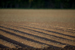 Field of potato seedlings Stock Images