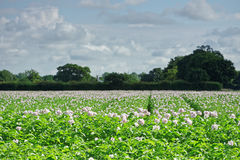 Field of Potatoes in Flower Stock Images