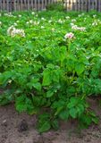 Field of potatoes Royalty Free Stock Images