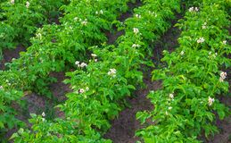 Field of potatoes Royalty Free Stock Image