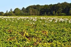 A field with potatoes. A field with potatoes in Zelhem, The Netherlands, are the lilies of last year also occurred yet Stock Photography