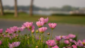 Field of pretty pink petals of Cosmos flowers blossom on green leaves and small bud near walkway in a park, on blurred background royalty free stock image
