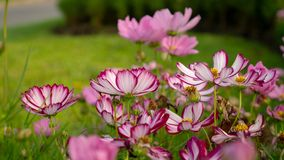 Field of pretty purple and pink petals of Cosmos flowers blooming on green leaves, small bud in a park , blurred lawn stock image