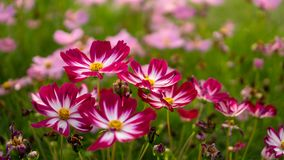 Field of pretty red and pink petals of Cosmos flowers blooming on green leaves, small bud in a park , blurred lawn and purple stock image