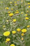Field of pretty yellow dandelions. Background stock image