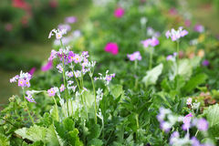 Field of primula flowers. Field of purple primula flowers Stock Images