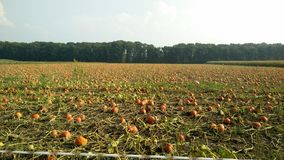 Field with pumpkins. Pumpkins growing under a bright sunshine Royalty Free Stock Photo