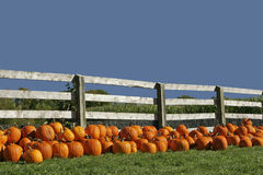 Field of Pumpkins. Field of freshly harvested pumpkins against a rustic fence with a clear blue sky royalty free stock photo