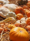 Field of pumpkins Stock Photo