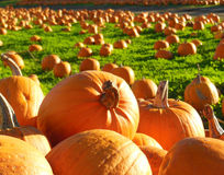 Field of pumpkins Stock Images