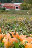 Field of Pumpkins. I pile of pumpkins sit in a field in Vermont showing an old farm blurred in the background Stock Photography