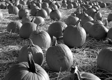 Field of Pumpkins in Black and White Royalty Free Stock Photo