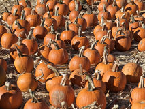 Field of pumpkins after harvest Royalty Free Stock Photos