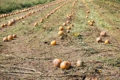 Field of pumpkins Stock Photos