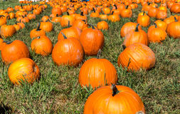Field of Pumpkins Stock Photography