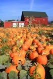 A field of Pumpkins in Portland Oregon. Stock Image