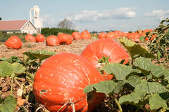 Field Pumpkins Royalty Free Stock Photo