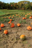 Field of pumpkins still on trailing vines Stock Photography