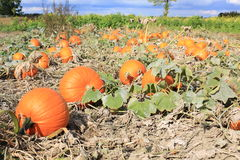 A field with pumpkins in Westphalia, Germany Stock Image