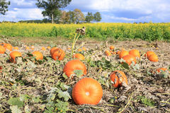 A field with pumpkins in Westphalia, Germany Stock Photography