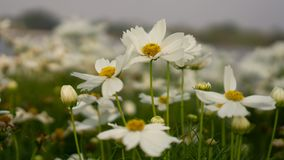 Field of pure white petals of Cosmos flowers blossom on green leaves, small bud under white sky in a park , blurred background royalty free stock photo