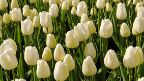 Field of pure white tulips Royalty Free Stock Images