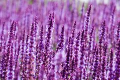 Field of Purple Royalty Free Stock Image