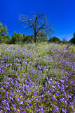 Field of Purple Asters Stock Photos