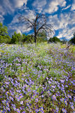 Field of Purple Asters Royalty Free Stock Photography