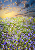 Field of Purple Asters Stock Photography