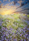 Field of Purple Asters Stock Photo