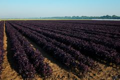 Field of purple basil in sunshine royalty free stock photo