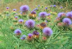 Field of purple burdock Royalty Free Stock Images