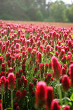 Field of purple clover in detail. Red clover field in czech republic Royalty Free Stock Image