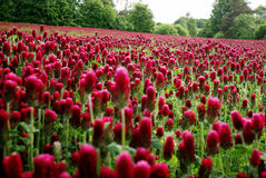 Field of purple clover in detail. Red clover field in czech republic royalty free stock images