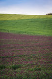 Purple clover field Royalty Free Stock Photography