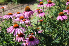 Field of purple Coneflowers. Pretty collection of purple Coneflowers in a field Stock Photography