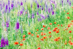 Field with purple delphinium flowers and poppies stock image