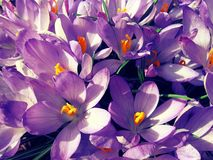 A field of purple flowers Stock Image