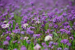 Field of purple flowers. In softfocus to give the picture a more romantic feel Royalty Free Stock Photo