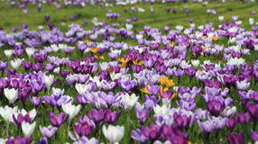 A field of purple flowers. With some yellow flowers Royalty Free Stock Image