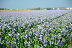 Field with purple flowers Stock Image