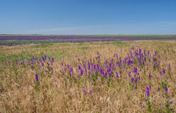 Field with purple flowers Royalty Free Stock Photo